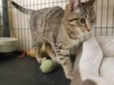 Adopt CICADA a Brown Tabby Domestic Shorthair / Mixed (short coat) cat in