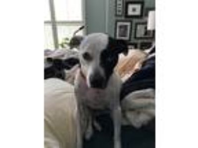 Adopt Jackson a White - with Black Rat Terrier / Mixed dog in Lemont
