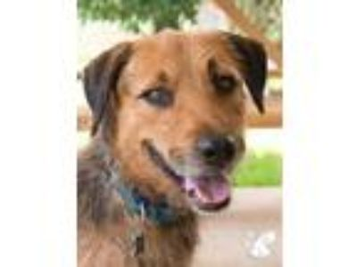 Adopt Marcus a Brown/Chocolate Airedale Terrier / Hound (Unknown Type) / Mixed