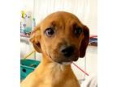 Adopt Curious Cur Puppies - Crista a Black Mouth Cur
