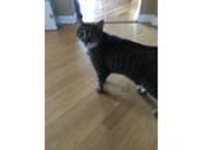 Adopt Kitty a Gray, Blue or Silver Tabby American Wirehair / Mixed cat in