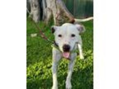 Adopt Sas a White American Pit Bull Terrier / Mixed dog in Honolulu