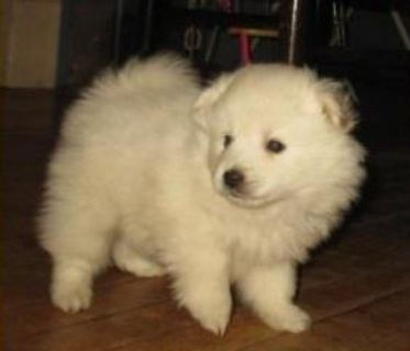 Eastpointe CHPL #! American Eskimo Puppies