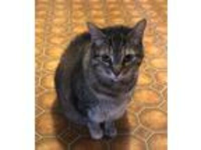 Adopt Chica Cake a Brown Tabby Domestic Mediumhair / Mixed cat in Berkeley