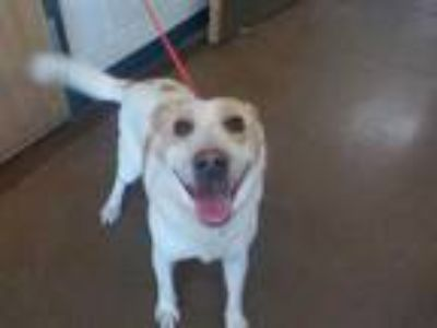 Adopt a White - with Tan, Yellow or Fawn Australian Cattle Dog / Mixed dog in