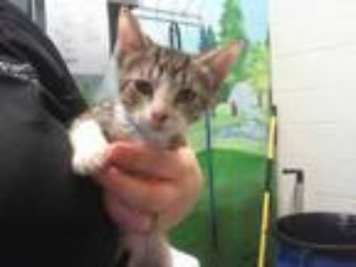Adopt ALAN a Brown Tabby Domestic Shorthair / Mixed (short coat) cat in Grand