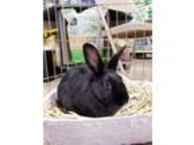 Adopt Gabrielle a Black Other/Unknown / Mixed (short coat) rabbit in Paramount