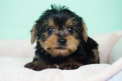 Yorkie Puppy – Male- John ($1,799)