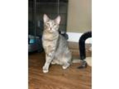Adopt Tula a Gray or Blue Domestic Shorthair (short coat) cat in Chicago
