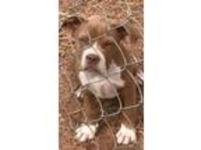 Adopt Gastone a Pit Bull Terrier