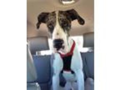 Adopt Goliath a Merle Great Dane / Mixed dog in Perkins, OK (25579924)