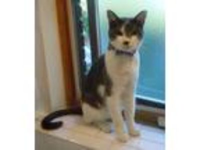 Adopt Bruce Bannon a Gray or Blue (Mostly) Domestic Shorthair / Mixed cat in