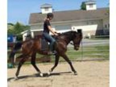 Adopt DEREK a Bay Thoroughbred / Mixed horse in Methuen, MA (21960918)