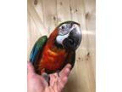 Adopt Nova a Macaw