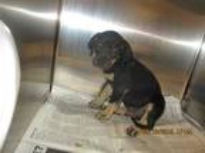 Adopt PRATT a Black - with Tan, Yellow or Fawn Rottweiler / Mixed dog in
