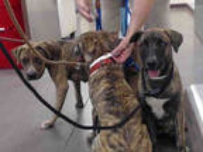 Adopt WILLOW a Brindle - with White American Pit Bull Terrier / German Shepherd