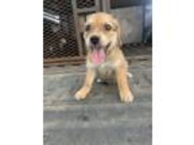 Adopt Lemay Pup #1 a Terrier, Mixed Breed