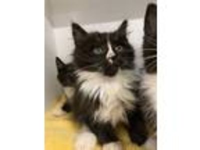 Adopt Kitten-1 a All Black Domestic Longhair / Domestic Shorthair / Mixed cat in