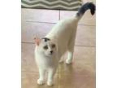 Adopt Misss Priss-COURTESY POST a Domestic Short Hair