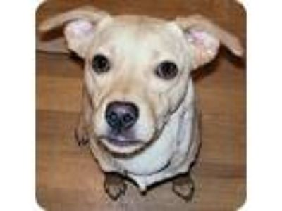 Adopt Rickey a Tan/Yellow/Fawn Labrador Retriever / Mixed dog in Centerville