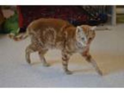 Adopt Dalton a Orange or Red Tabby Domestic Shorthair (short coat) cat in House