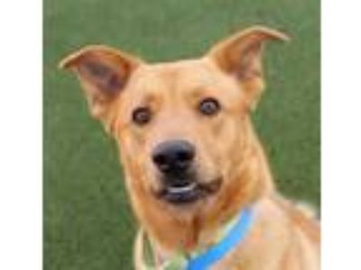 Adopt HANS a Tan/Yellow/Fawn Labrador Retriever / Mixed dog in Las Vegas