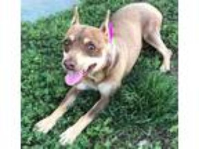 Adopt A205959 a Miniature Pinscher, Mixed Breed