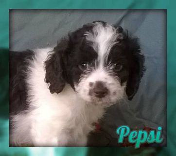 Pepsi Female Cockapoo