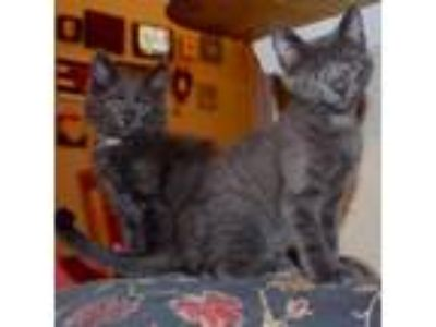 Adopt John Adams a Gray or Blue Domestic Longhair cat in Gainesville