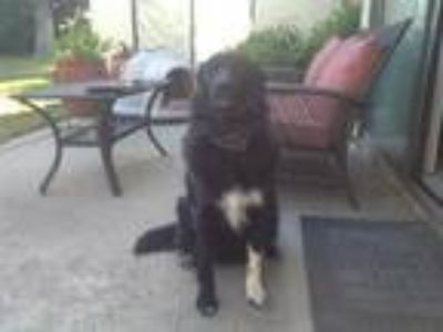 Adopt Bowie a Black - with White Border Collie / German Shepherd Dog / Mixed dog