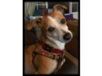 Adopt Benny a Tan/Yellow/Fawn - with White Beagle / Corgi / Mixed dog in Oakley