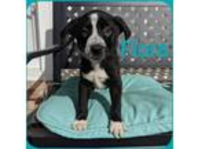 Adopt Flora a Merle Border Collie / Mixed Breed (Medium) / Mixed dog in