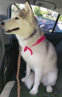 Siberian Husky DOG FOR ADOPTION ADN-76780 - Gucci  Siberian Husky For Adoption Seattle