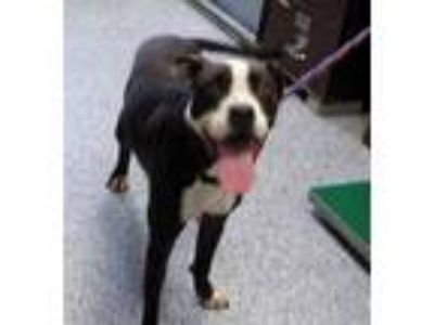 Adopt Boxer a Gray/Blue/Silver/Salt & Pepper Boxer / Mixed dog in Pickens