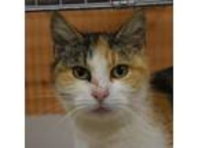 Adopt Evanora a Tortoiseshell Domestic Shorthair cat in East Smithfield