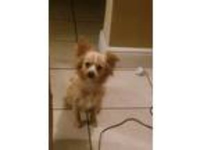 Adopt Pinky a Tan/Yellow/Fawn - with White Pomeranian dog in Miami