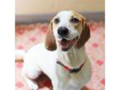 Adopt Jill a White Basset Hound / Mixed dog in Atlanta, GA (25626112)
