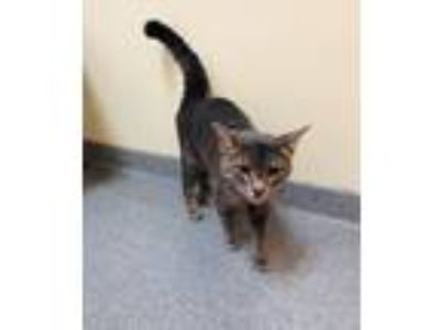 Adopt Silvertoes a Domestic Short Hair