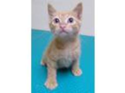 Adopt Isaac a Domestic Short Hair