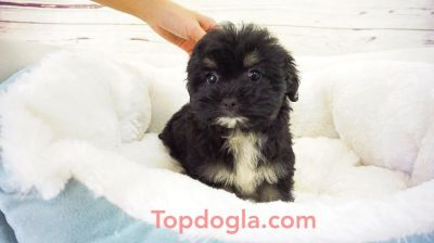 Morky Puppy - Female - Dottie ($1,299)