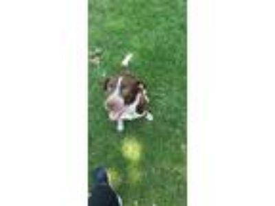 Adopt Atlas a White - with Brown or Chocolate Labrador Retriever / German