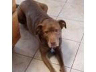 Adopt NIKA (Foster needed) a Chocolate Labrador Retriever