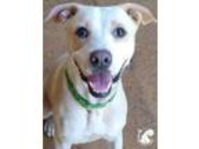 Adopt Kenzo a Tan/Yellow/Fawn American Pit Bull Terrier / Mixed dog in Lihue