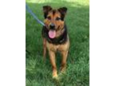 Adopt Patrick a German Shepherd Dog