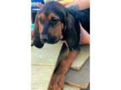 Adopt Jethro a Black - with Tan, Yellow or Fawn Bloodhound / Mixed dog in