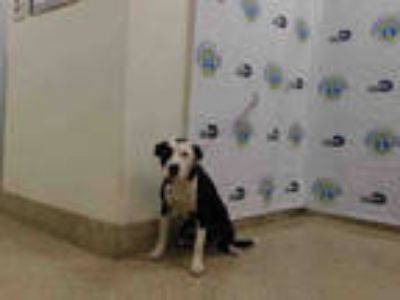 Adopt LARRY a Black - with White Border Collie / Mixed dog in Doral