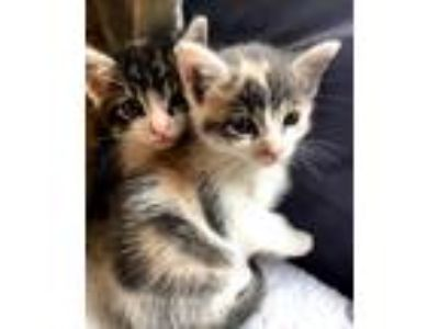 Adopt Chai a Calico or Dilute Calico Domestic Shorthair / Mixed cat in Oakland