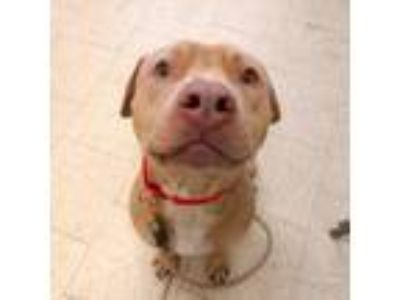 Adopt Pikachu a Tan/Yellow/Fawn American Pit Bull Terrier / Mixed dog in