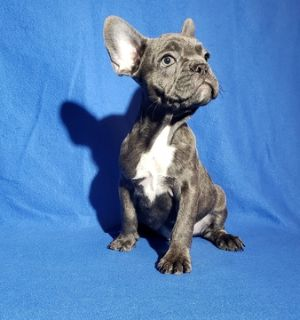 French Bulldog PUPPY FOR SALE ADN-105770 - FrenchieZ PuP