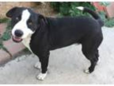 Adopt Hercules a Border Collie, Pit Bull Terrier